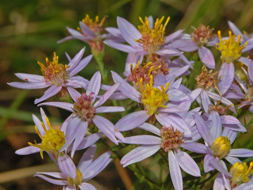 Aster âcre. © By Hectonichus - Own work, CC BY-SA 3.0